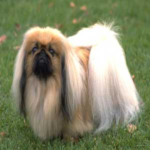 Pekingese - سگ پیکینیز