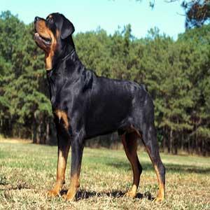 Rottweiler - سگ روتوایلر