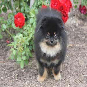 Pomeranian - سگ پامرانیان