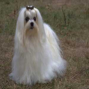 Maltese - سگ مالتیز