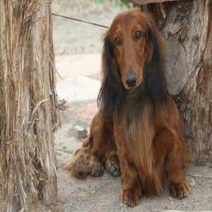 Dachshund - سگ داشهوند