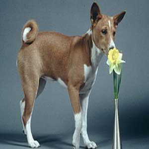 Basenji - سگ باسنجی