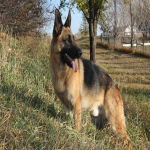 German Shepherd - ژرمن